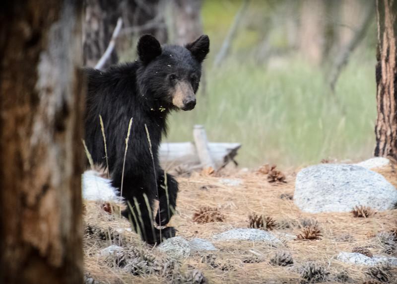 A young black bear near Zumwalt Meadows in California's Sequioa/Kings Canyon National Park.