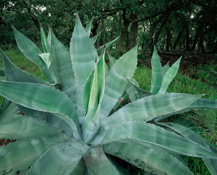 Tamaulipas, Mexico / Agave, Agave americana ssp. protoamericana in a forest of oak trees in the Sierra Madre Oriental. 1003H2