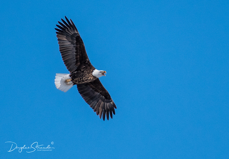 Cheyenne Valley Eagle