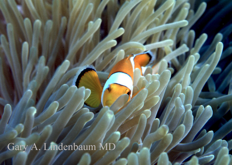 Clownfish5.JPG