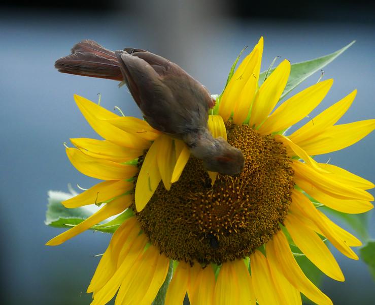 cardinal + sunflower
