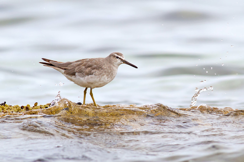 155-Grey-tailed-Tattler-Currarong,NSW.jpg