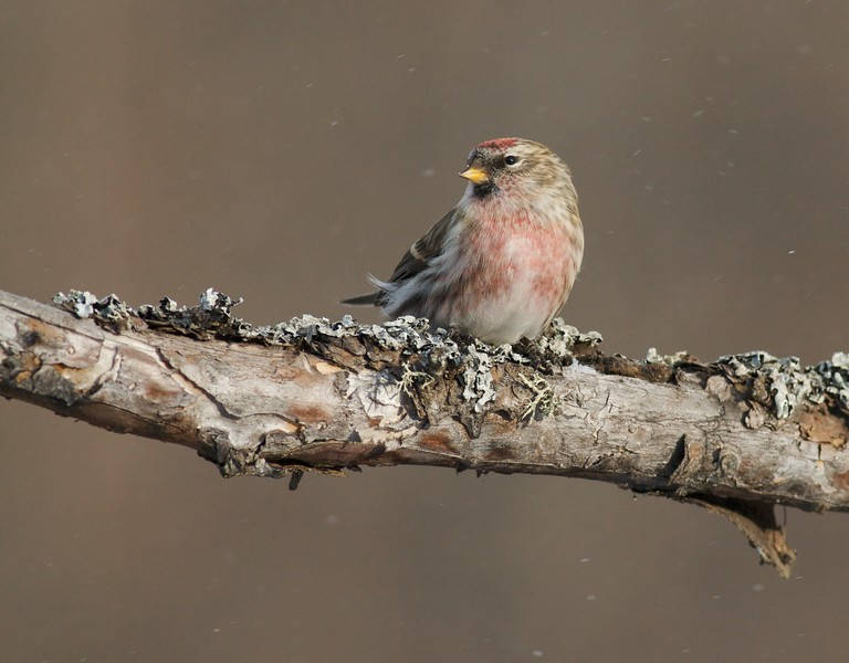 Common Redpolls often arrive with the first flakes of snow [December; Sax-Zim Bog, Minnesota]