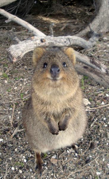 Quokka Rottnest Is Australia 2009.JPG