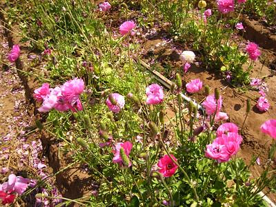 Carlsbad Flower Fields - May 2007