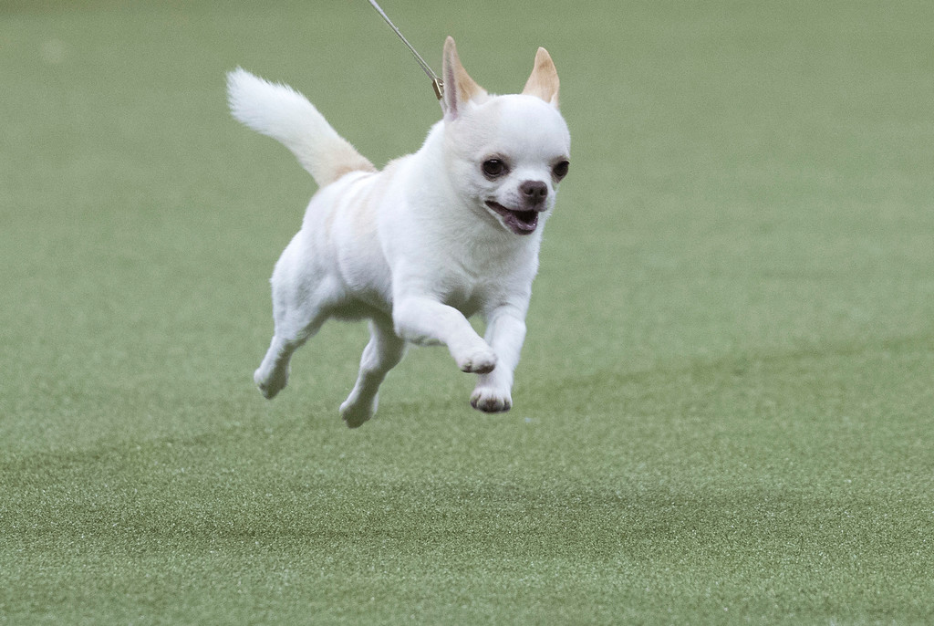 . Sonnito, a smooth-coated chihuahua, competes in the Toy group during the 142nd Westminster Kennel Club Dog Show, Monday, Feb. 12, 2018, at Madison Square Garden in New York. (AP Photo/Mary Altaffer)