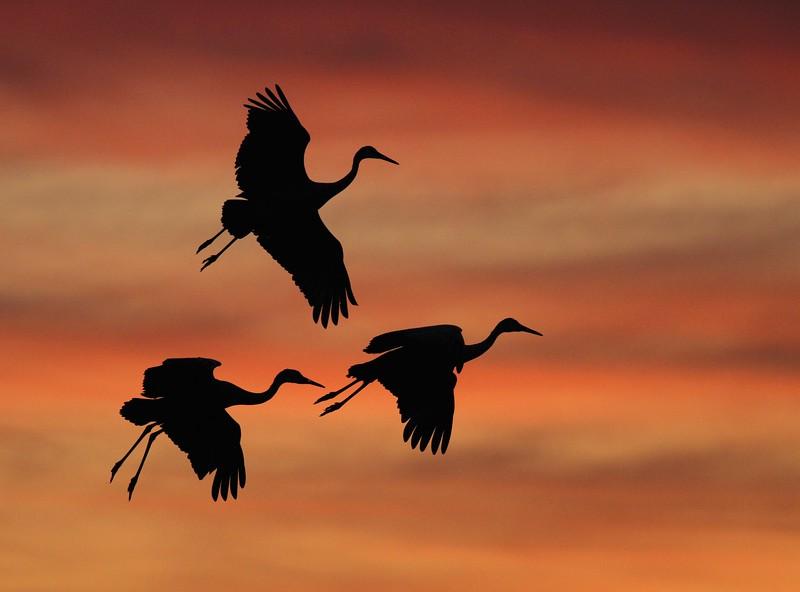 Sandhill Crane Three cranes silhouette 0006640.jpg