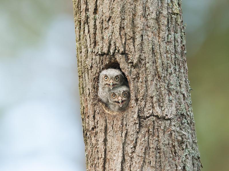 Eastern Screech Owlets.jpg