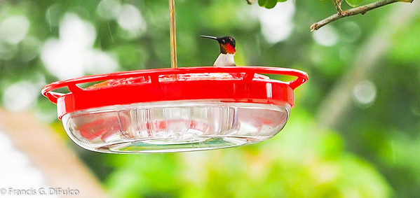 Humming Bird May 2017