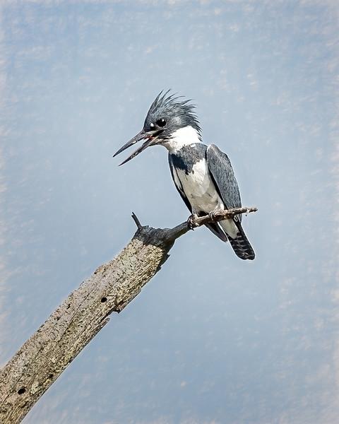 JWS_9734-Edit-2kingfisher.jpg