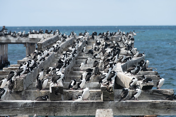 Cormorant colony, Punta Arenas, Patagonia, Chile - January, 2019