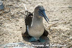 Blue Footed Booby sitting on egg in trail on Espanola Island, Galapagos, Photo by NSL Photography