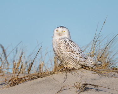 Snowy Owls on Assateague Island