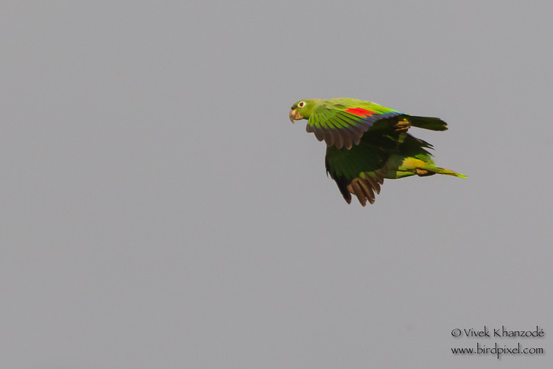 Mealy Parrots in flight - Tambo Blanquillo Clay Lick, Manu Biosphere Preserve, Peru