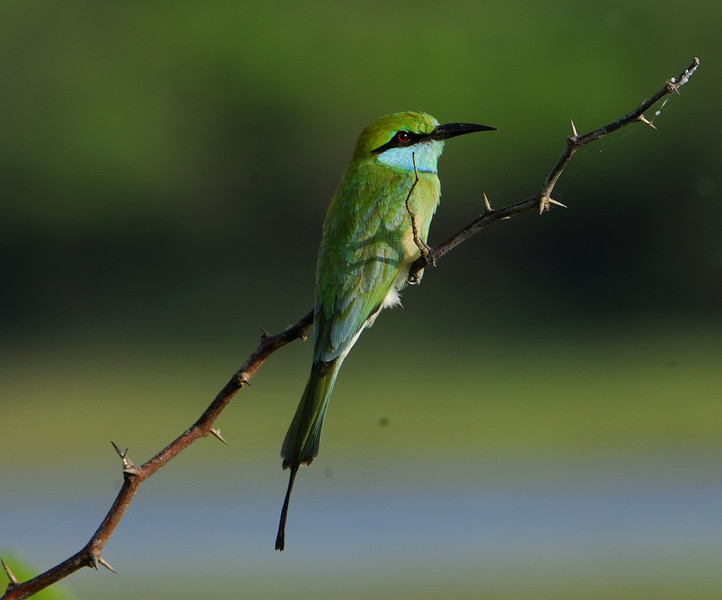 Blue Tailed Bee Eater.