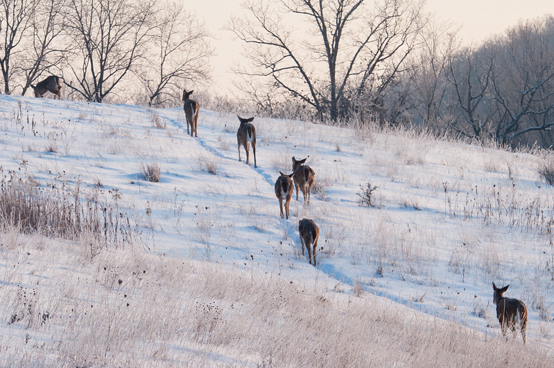 Tough winter for the deer