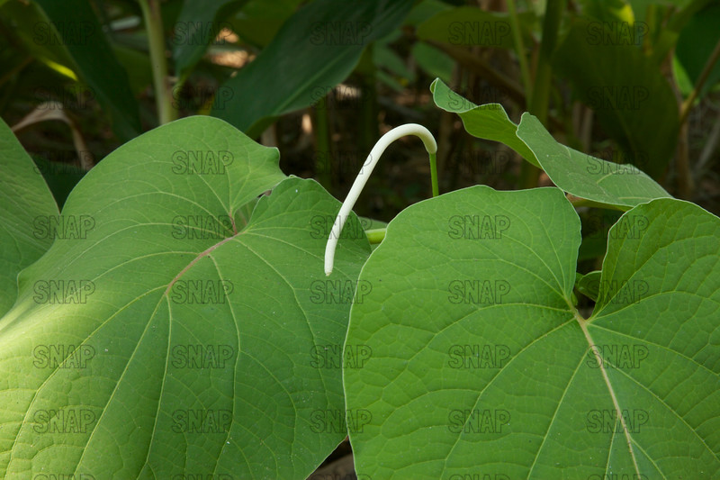 Mexican Pepperleaf, Root Beer Plant, Hoja Santa, Sacred Leaf, Mexican Pepperleaf, Veracruz Pepper, False Kava, Verba Santa, Hierba Santa, Acuyo, Tlanepa, Anisillo, or Sacred Pepper (Piper auritum); native from Mexico to Northern South America, at the Jacksonville Zoo and Gardens.