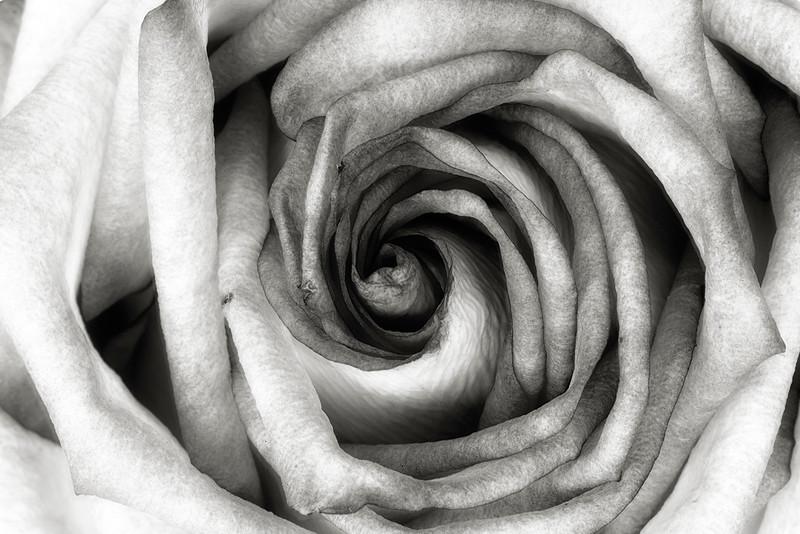 rose-bw.jpg