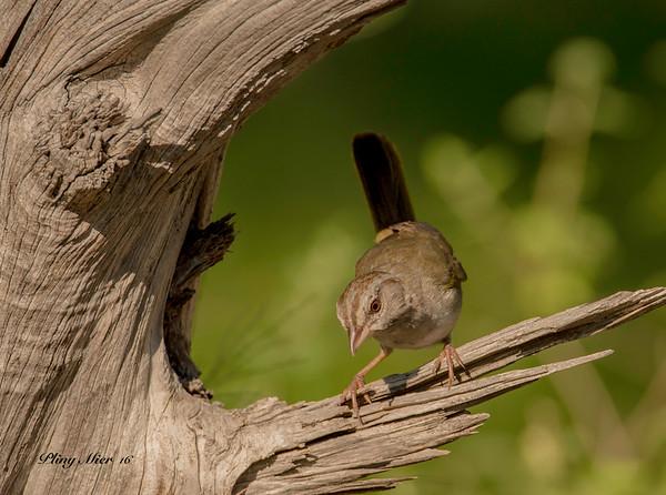 Olive Sparrow LL_DWL5473.jpg
