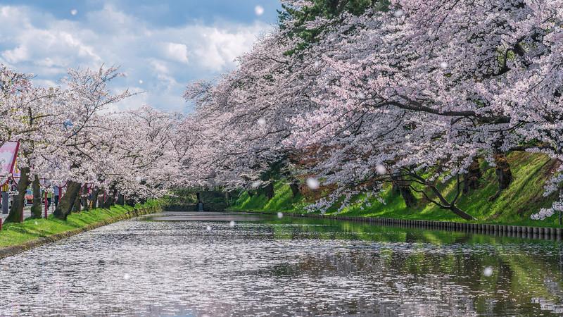 Sakura Blizzard at Hirosaki Castle Moat