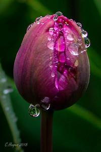 Longwood Gardens Tulip Festival
