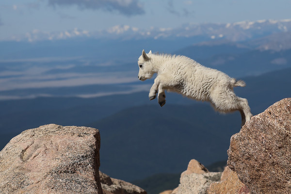 Mountain Goats & Bighorn Sheep-Please click on a photo to enlarge the image.