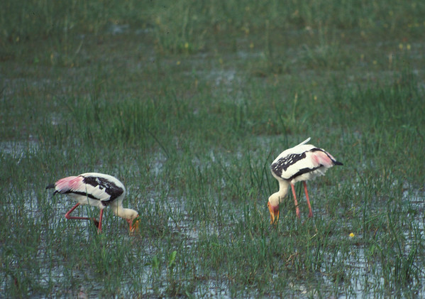 Indian Continent  Birds