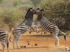 Zebra Wrestling