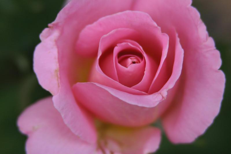Pink Rose 035.jpg