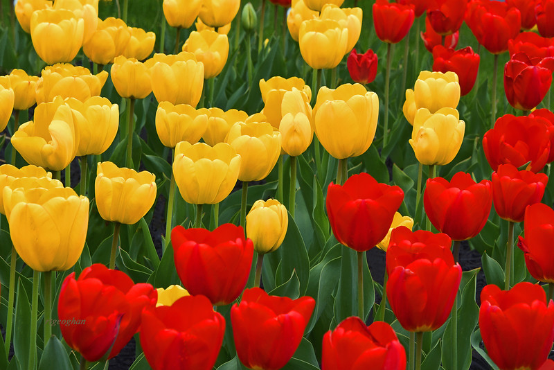 Tulips Red and Gold