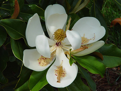 From Magnolia Flower to Fall Seed... where li'l Maggie came from.