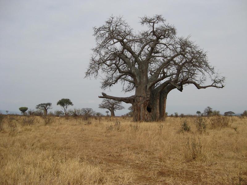 Boabab tree in Ngorongoro Crater