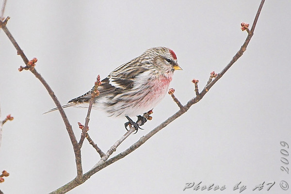 2009-01-26 Ferguson Common Redpolls