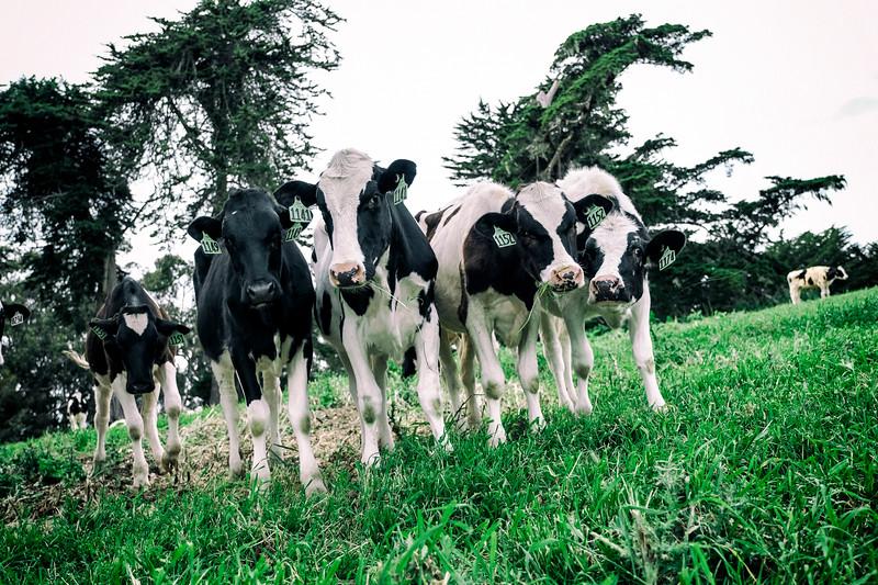 Bivalve Dairy heifers at Straus Home Ranch