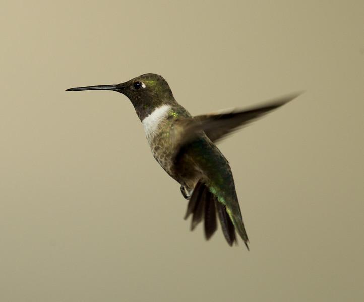 Black-chinned Hummingbird  Whelan Lake 2015 00 05-4.jpg