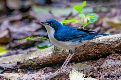 Siberian Blue Robin, Baan Maka Neung Hide, Thailand