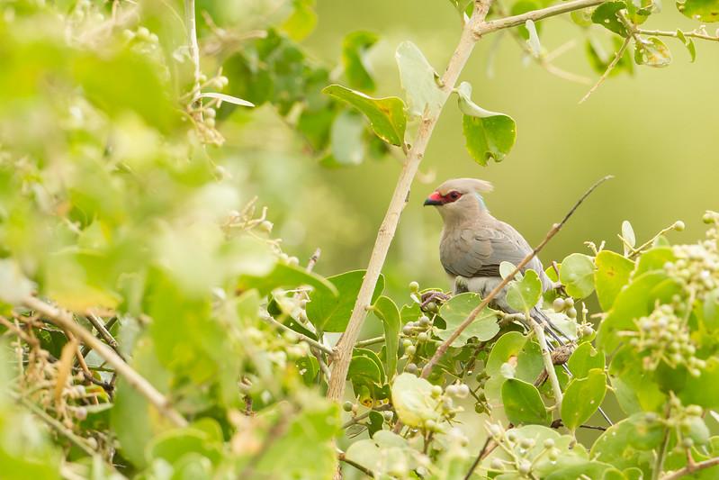Blue-naped Mousebird - Lake Manyara National Park, Tanzania