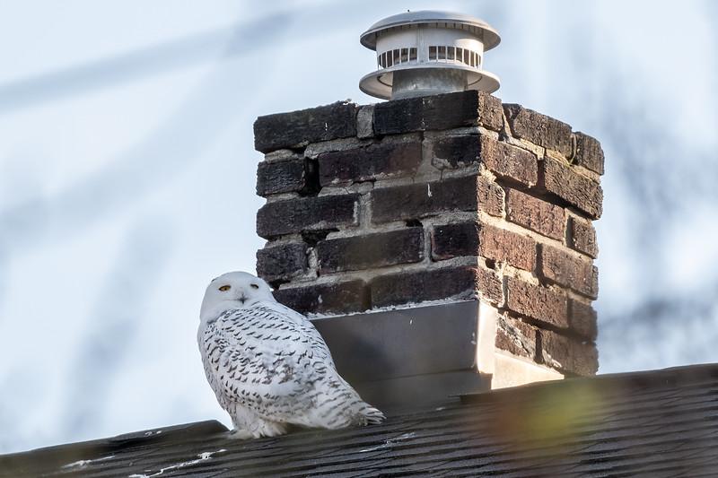 Snowy Owl_01.jpg