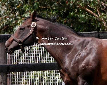 A - M Stallions