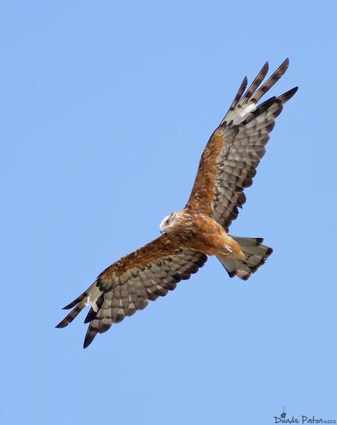 Eagles, Kites, Goshawks
