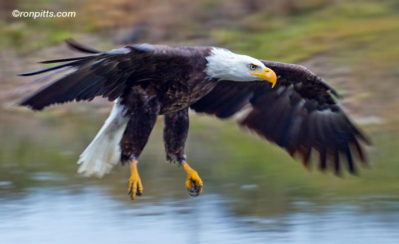 sm eagle_M4D8124.jpg
