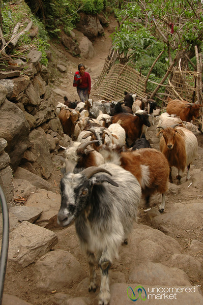 Nimble Herd of Goats - Annapurna Circuit, Nepal
