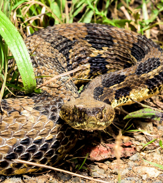 REPTILIA: Squamata: Viperidae: Crotalus horridus, timber rattlesnake