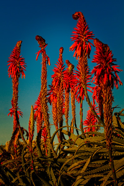 Orange Aloe Flowers at Dawn