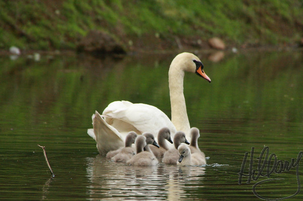 Swan with Cygnets - Yardley, PA