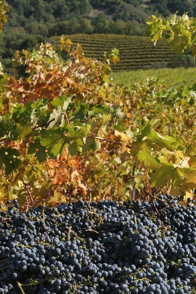Vinoce Harvest 2009
