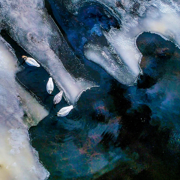 Trumpeter Swan group on Stone Lake aerial drone view Sax-Zim Bog MN DJI_0003-2.jpg