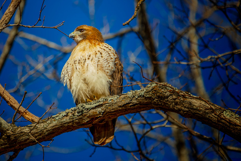 12.22.18 - Red-Tailed Hawk