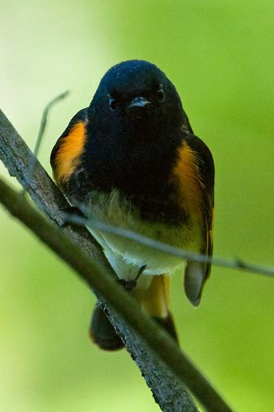 American Redstart (Warbler) D3750