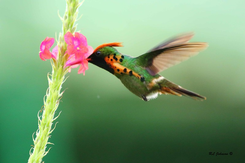 Tufted Coquette - Asa Wright Lodge, Trinidad - December 2016